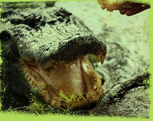 swamp tour aligator
